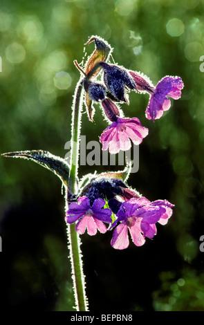 Red campion (Silene dioica / Melandrium rubrum) flowering in meadow in spring - Stock Photo