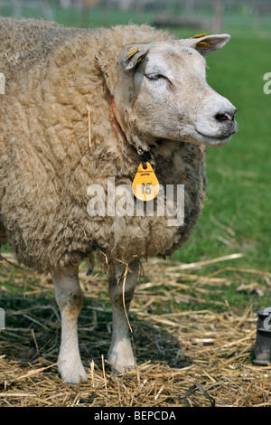 White sheep (Ovis aries) close up in field - Stock Photo