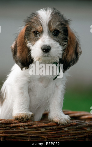 Cute Grand Basset Griffon Vendeen pup, dog breed from France - Stock Photo