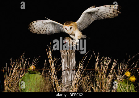 Barn Owl (Tyto alba), adult landing on fence post with mouse prey, Rio Grande Valley, Texas, USA - Stock Photo