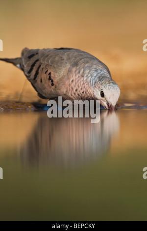 Common Ground-Dove, Columbina passerina, adult drinking, Rio Grande Valley, Texas, USA - Stock Photo