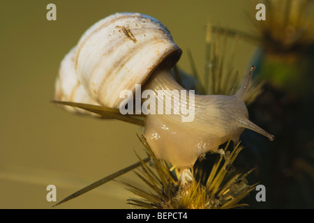 Land Snail (Gastropoda), adult on cactus, Rio Grande Valley, Texas, USA - Stock Photo