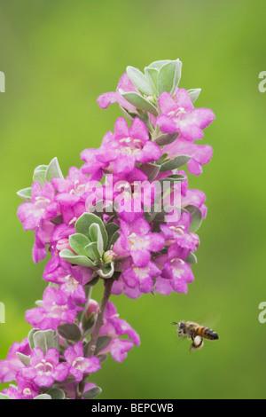 Honey Bee (Apis mellifera), adult drinking from Texas Sage (Leucophyllum frutescens), South Texas, USA - Stock Photo