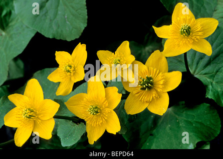 King cup / Marsh marigold (Caltha palustris) in flower - Stock Photo