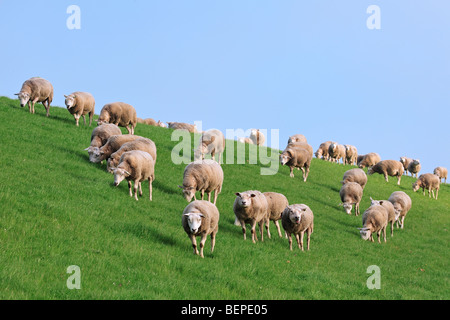 Domestic Texel sheep (Ovis aries) fock grazing in grassland on dike, The Netherlands - Stock Photo