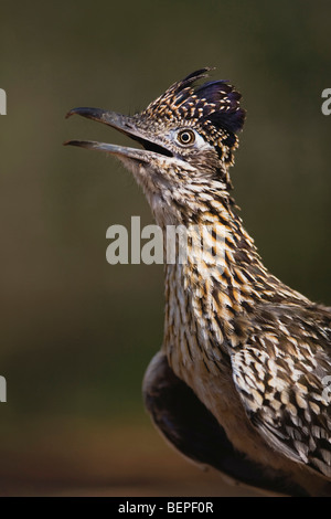 Greater Roadrunner (Geococcyx californianus),adult portrait, Starr County, Rio Grande Valley, Texas, USA - Stock Photo