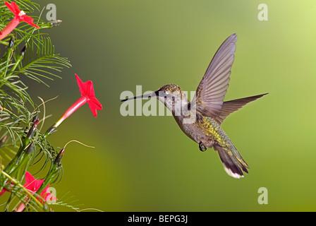 Young immature male ruby-throated hummingbird feeding on Cypress vine blossom.  Archilochus Colubris. - Stock Photo