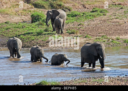 African elephant herd (Loxodonta africana) crossing river, Masai Mara National Reserve, Kenya, East Africa - Stock Photo