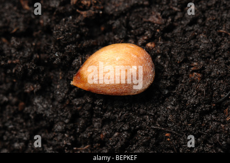 Discovery apple seed on a soil surface - Stock Photo