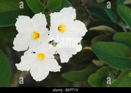 Mexican Olive tree (Cordia boissieri), blooming, Rio Grande Valley, Texas, USA - Stock Photo