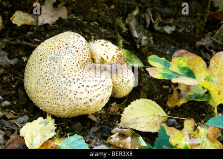 Common Earth Ball Scleroderma citrinum fungi fruiting body growing on the ground - Stock Photo