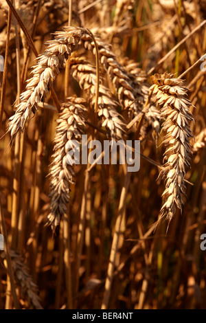 Wheat field ready to harvest - Stock Photo