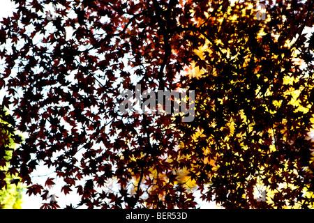 acer palmatum atropurpureum leaves as shapes against sky in autumn - Stock Photo