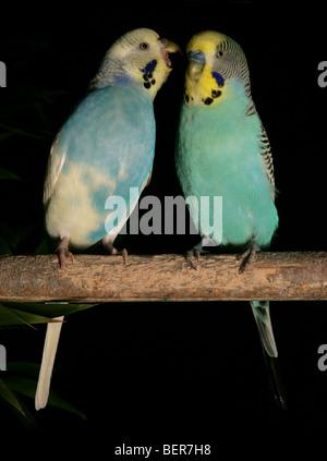 Budgerigars Melopsittacus undulatus adult perching in studio - Stock Photo