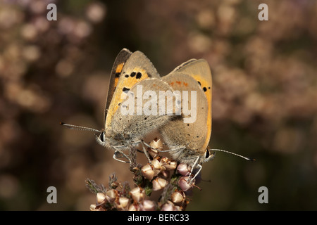 Small copper, Lycaena phlaeas, butterflies mating - Stock Photo