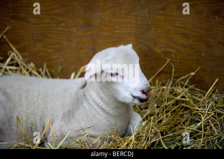 A lamb laying on hay in a barn. - Stock Photo
