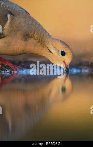 Mourning Dove (Zenaida macroura),adult drinking, Rio Grande Valley, Texas, USA - Stock Photo