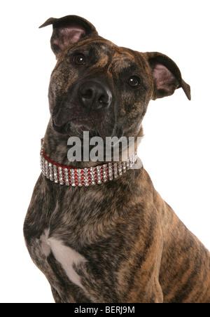 staffordshire bull terrier cross studio portrait - Stock Photo