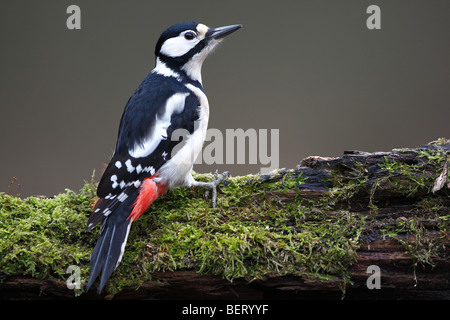 Greater spotted woodpecker (Dendrocopos major) on tree trunk, Belgium - Stock Photo