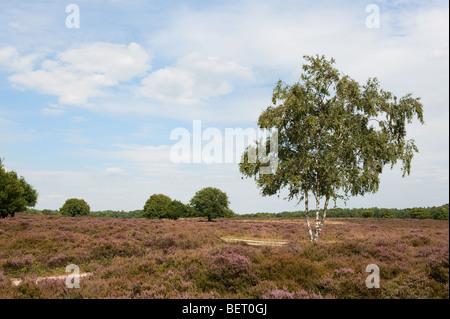Birch in landscape with purple heath fields  - Stock Photo