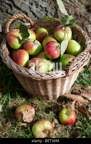 Fresh organic apples harvested in a basket in an apple orchard - Stock Photo