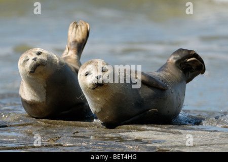 Two Harbour seals / Common seal (Phoca vitulina) juveniles resting on breakwater along the North Sea coast - Stock Photo