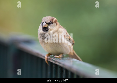 House Sparrow - Passer domesticus sitting on a fence - Stock Photo