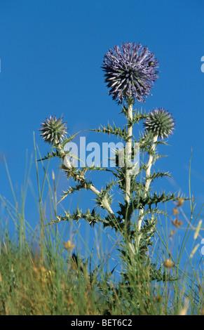 Taplow blue / Blue globe (Echinops bannaticus) in flower - Stock Photo