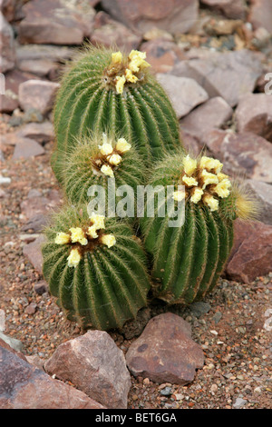 Parodia magnifica, Cactaceae, Southern Brazil, Uruguay, South America - Stock Photo