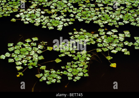 Water chestnut /  water caltrop (Trapa natans) leaves floating in pond - Stock Photo