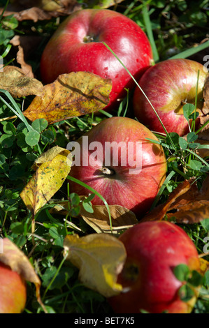 Fallen autumn red apples in an apple orchard - Stock Photo