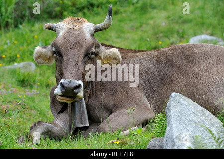 Brown swiss cow lying in grass Stock Photo, Royalty Free ...