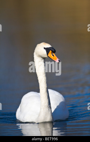 Mute Swan Cygnus Olar close up on calm water - Stock Photo