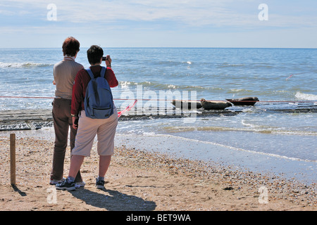 Tourists lookig at and taking pictures of juvenile common seal / harbour seals (Phoca vitulina) on the beach along - Stock Photo