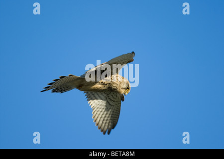 Common kestrel (Falco tinnunculus) adult female hovering while hunting - Stock Photo