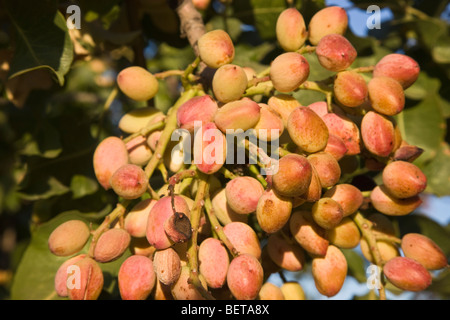 Pistachio Nuts maturing on branch ' - Stock Photo