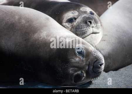 close-up faces of 2 cute baby elephant seals, big reflective eyes, making eye contact with viewer South Georgia - Stock Photo
