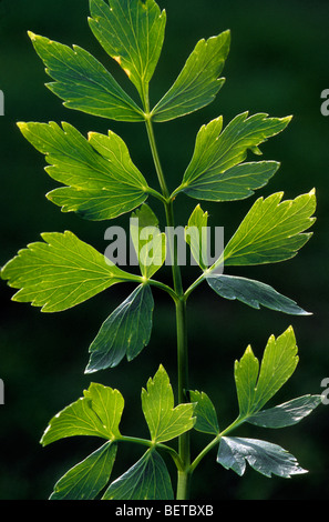 Lovage (Levisticum officinale), Europe - Stock Photo