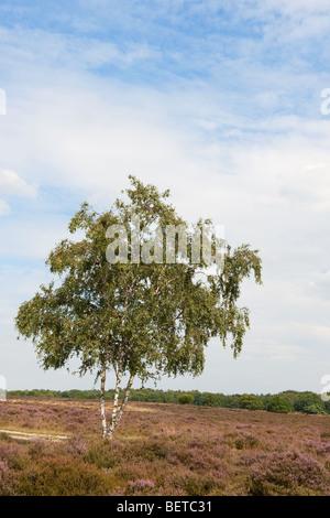 Landscape with birch in purple heath fields - Stock Photo