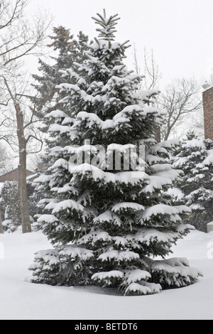 A young fir tree covered in fresh snow after a recent snow storm in Montreal. - Stock Photo