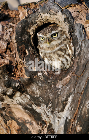 Close up of nesting Little owl (Athene noctua) sticking head out to peer from nest hole in hollow tree cavity - Stock Photo