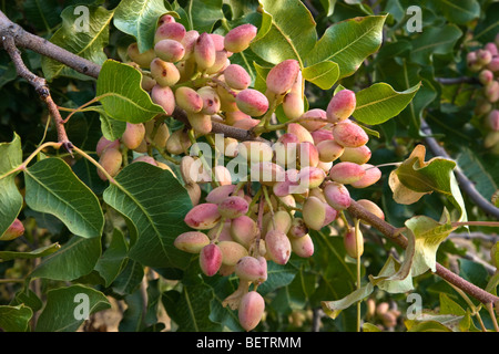 Pistachio Nuts maturing on branch . - Stock Photo
