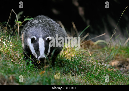 European badger (Meles meles) foraging in meadow, England, UK - Stock Photo