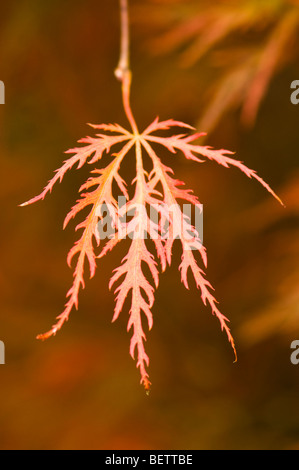 Leaf of an Acer palmatum dissectum, Cut-leaved Japanese Maple, in Autumn - Stock Photo