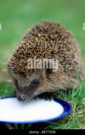 Close up of Common European hedgehog (Erinaceus europaeus) drinking milk from saucer in garden, Germany - Stock Photo