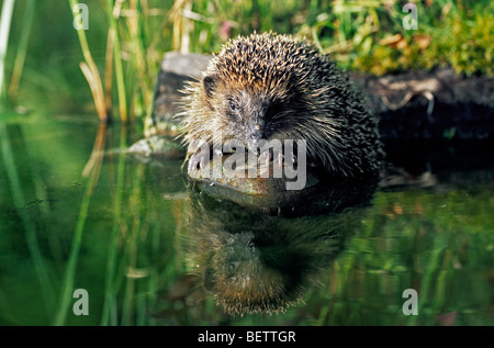 Close up of Common European hedgehog (Erinaceus europaeus) drinking water from garden pond, Germany - Stock Photo