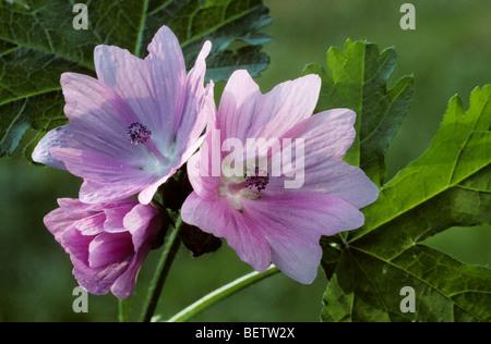 Greater musk-mallow / Hollyhock mallow (Malva alcea) in flower - Stock Photo