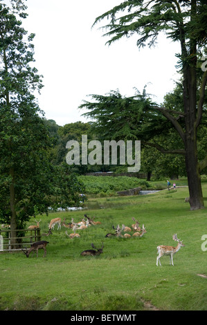 Beautiful fallow deer at Bradgate Park in Leicestershire, England - Stock Photo