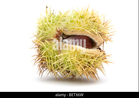 Castanea sativa sweet chestnut fruit in 'spiny cupule' - Stock Photo