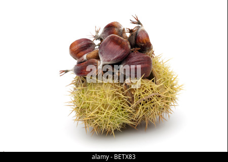 Castanea sativa sweet chestnut fruits in 'spiny cupule' - Stock Photo